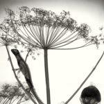 Lizard on giant hogweed (Heracleum mantegazzianum) plant, X-ray.