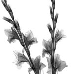 Gladiolus flowers, coloured X-ray.
