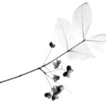 Euonymus flowers and leaves, coloured X-ray.