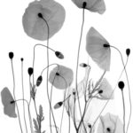 Poppies,coloured X-ray